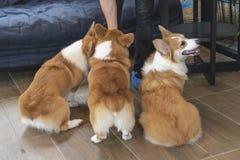 3 braune Corgihunde lizenzfreies stockbild