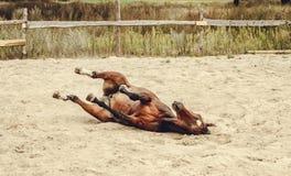 Braune, die im Sand liegt Stockfoto