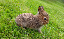 Braune Hasen des Babys, die noch auf Gras stehen lizenzfreies stockfoto