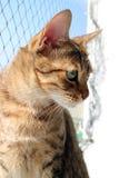 Braune Katze der getigerten Katze Lizenzfreie Stockfotos