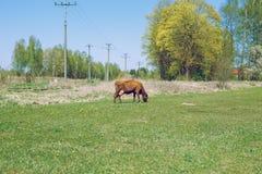 braune Kuh Sonniger Frühling in der lettischen Wiese mit Kuh Lizenzfreie Stockbilder