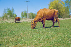 braune Kuh Sonniger Frühling in der lettischen Wiese mit Kuh Lizenzfreie Stockfotos