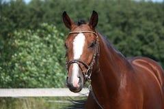 Braune mit Zaumporträt im Sommer Lizenzfreies Stockfoto