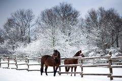 Braune Pferde der Kastanie in einem kalten Winter weiden Stockfoto