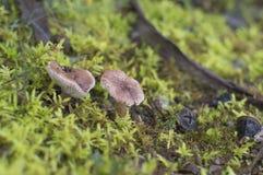 braune Pilze Stockbild