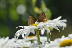 Braune Schmetterlinge der Wiese stockbild