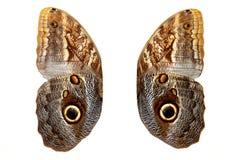 braune Schmetterlingsflügel mit Weiß Getrennt auf weißem Hintergrund Stockfoto