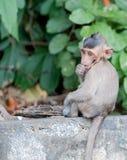 Brauner Affe des Babys Stockbilder