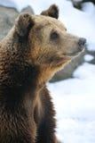 brauner Bär Stockfoto