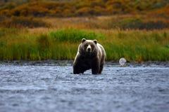 Brauner Bär des Kodiak Stockbilder