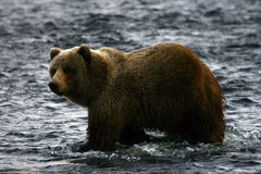 Brauner Bär des Kodiak Stockfoto