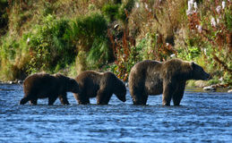 Brauner Bär des Kodiak Stockfotografie
