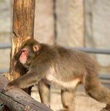 brauner japanischer Macaque (Schneefallhammer) Stockbilder