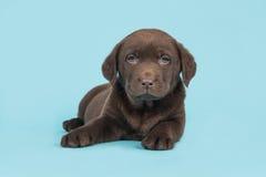 brauner labrador retriever-Welpe, der auf dem Boden mit Kopf herauf das Gegenüberstellen der Kamera auf einem weichen blauen Hint Lizenzfreie Stockfotografie