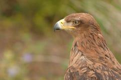 brauner Raubvogel Stockfotografie