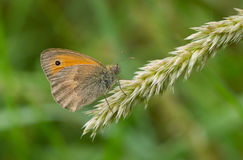 Brauner Schmetterling der Wiese, der auf einem kleinen Ährchen in den Schatten von Sommerkräutern sitzt Lizenzfreie Stockfotografie