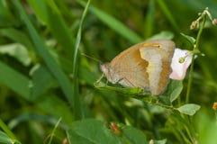 Brauner Schmetterling der Wiese, der in den Schatten von Sommerkräutern stillsteht Stockfotos