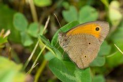 Brauner Schmetterling der Wiese, der Rest auf einem Blatt in den Schatten von Sommerkräutern hat Stockbilder