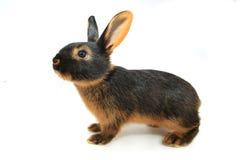 braunes Kaninchen lizenzfreie stockfotografie