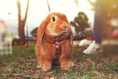 braunes Kaninchen stockfoto