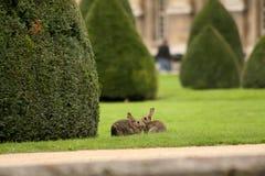 Braunes Kaninchen zwei auf grünem Gras stockfotografie