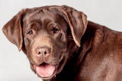 braunes Labrador lizenzfreie stockfotos