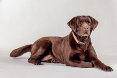 braunes Labrador lizenzfreie stockfotografie