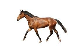 Braunes Pferd der Kastanie, das frei auf weißem Hintergrund läuft Lizenzfreies Stockfoto