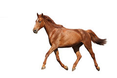 Braunes Pferd der Kastanie, das frei auf weißem Hintergrund läuft Stockbilder