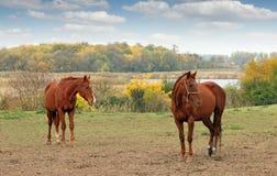 Braunes Pferd zwei auf Weide stockfotos