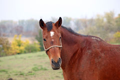 braunes Pferdenportrait lizenzfreies stockfoto