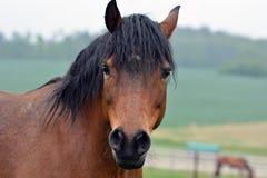 braunes Pferdenportrait stockbild