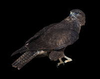 Braunes Sitzen Eagles lokalisiert auf dem Schwarzen, das zurück schaut Stockfotos