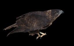 Braunes Sitzen Eagles lokalisiert auf dem schwarzen Gehen, oben zu fliegen Lizenzfreie Stockbilder