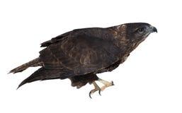 Braunes Sitzen Eagles lokalisiert auf dem weißen Gehen, oben zu fliegen Stockfotografie