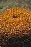 Braunfarbige wandernde Anemone Stockbild