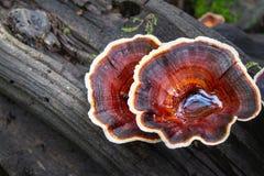 Braunfarbige wilde Pilze mit weißen Rändern lizenzfreie stockfotos