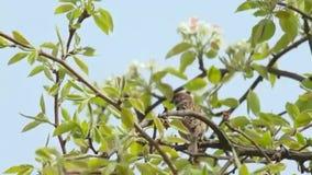 Braunfarbiger Vogel, der auf frisch geblühtem Baum sitzt stock video