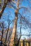 Braunschweig, 17 November , 2018: Boomklimmer op een ladder die tegen een populierboom leunen De helper houdt de ladder ter plaat royalty-vrije stock foto