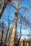 Braunschweig, November 17., 2018: Tree climber on a ladder leaning against a poplar tree. Helper holds the ladder on the ground. Start climbing the tree with royalty free stock photo