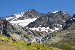 Braunschweiger Huette, Austria. Braunschweiger H�tte in the �tztal Alps in Austria with some cows in the foreground Royalty Free Stock Image