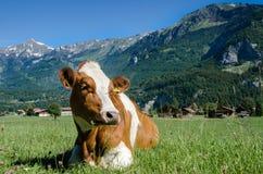 Braunviehkuh liegt auf grüner Wiese mit alpinem Berg-backg Stockfotografie