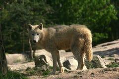 braunwolf Royaltyfria Foton