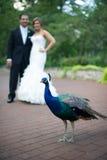 Braut und Bräutigam mit Pfau Stockfoto