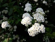 Brautschleier Spirea, Brautkranzblumen stockbild