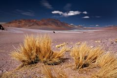 Brava de paja d'herbe d'Altiplano dans le désert d'Atacama Image stock