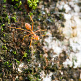 Brave ant Royalty Free Stock Image