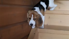 Brave beagle puppy. Beagle puppy is trying to get down the wooden stair stock video footage