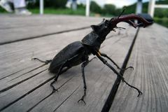 Brave beetle deer walking on the bench. I not fear it Stock Image