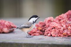 Brave Black-capped Chickadee Helping Itself to Ground Meat royalty free stock photography